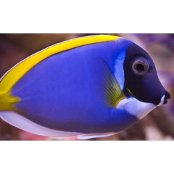 Powder Blue Tang - Premium West. Indian Ocean ( ME )