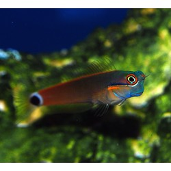 Orange Cheek Blenny