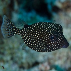 Hawaiian Black Boxfish