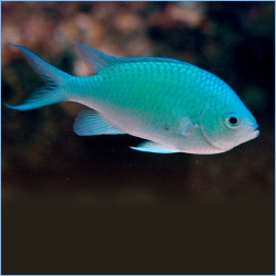 Blue-Green Chromis