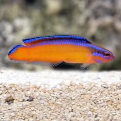 Neon Pseudochromis
