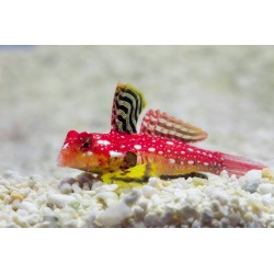 Red Scooter Dragonet
