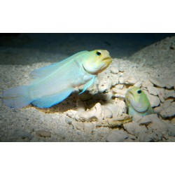 Yellow Head Jawfish