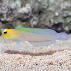 Jawfish - Yellowhead