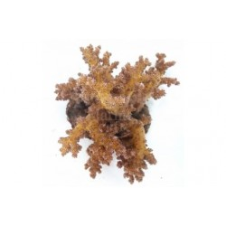 Bush Coral - Golden
