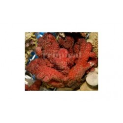 Fire Soft Coral