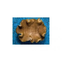 Toadstool Soft Coral