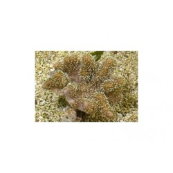 Toadstool Soft Coral - Knobbly