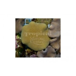 Toadstool Soft Coral - Yellow